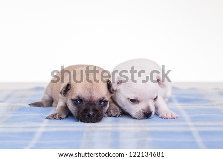 Cute chihuahuas on blue block blanket.