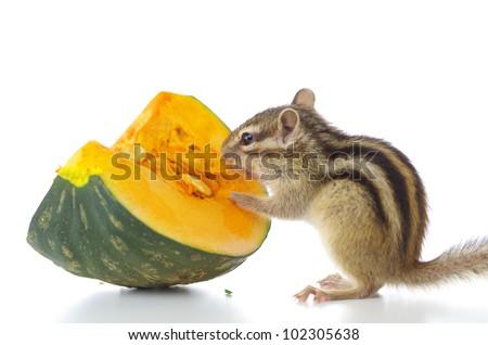 Cute chipmunk eating pumpkin
