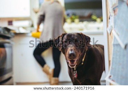 Stock Photo Cute Chocolate Lab in Kitchen Smiling at camera ears propped forward