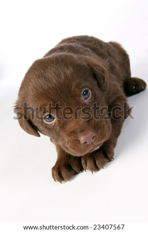 chocolate labrador puppies. Cute chocolate lab puppy