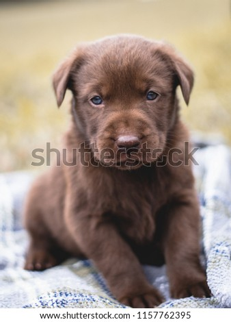 Free Photos Beautiful Chocolate Lab Puppy Avopix Com