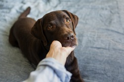 cute chocolate labrador retriever dog years on the bed, pet like a human lying on the bed and resting, dog under the blanket, female hand holding dog's face, beautiful photo about human and dog