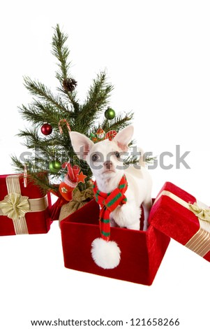 Cute Christmas Chihuahua Puppy under Christmas tree inside gift box wearing a scarf isolated on white background