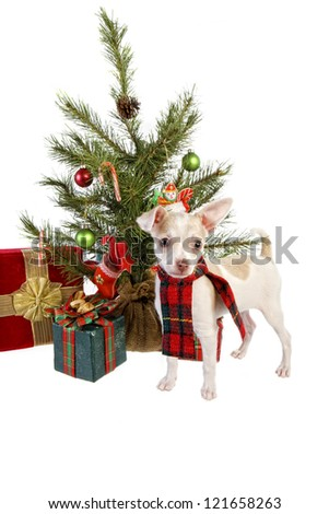 Cute Christmas Chihuahua Puppy wearing holiday scarf under Christmas tree with gifts isolated on white background