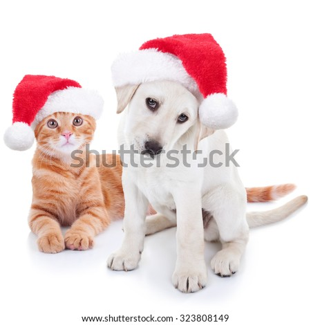 Stock Photo Cute Christmas pet Labrador puppy dog and Xmas animal kitten cat in Santa hats on white