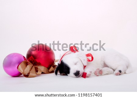 Cute Christmas Picture of Border Collie Puppy with Christmas ornaments, baubles or christmas balls decorations
