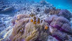Cute Clown Fish in Symbiosis of Perhentian Island, Malaysia