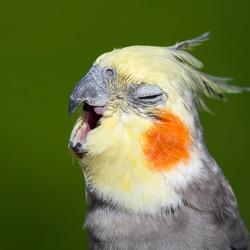 Cute Cockatiel With its Beak Open