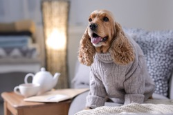 Cute Cocker Spaniel dog in knitted sweater on sofa at home. Warm and cozy winter