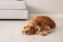 Cute Cocker Spaniel dog lying on warm floor indoors. Heating system
