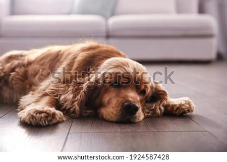 Cute Cocker Spaniel dog lying on warm floor indoors. Heating system Photo stock ©