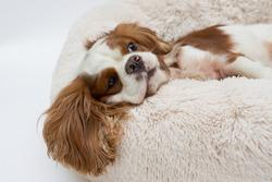 Cute cocker spaniel lying on a dog bed. Light background. Dog Sleeps on Plush Fluffy Pet Cave