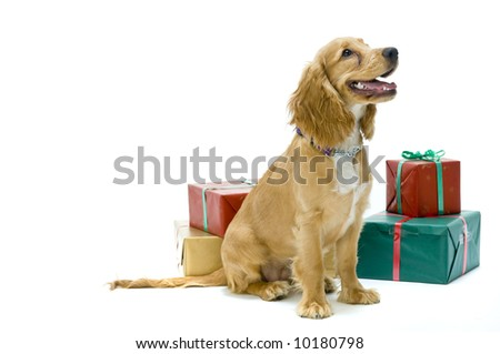 Cute cocker spaniel with presents in the studio