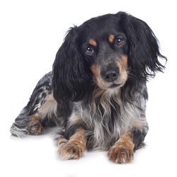 Cute cockerspaniel mixed dog