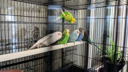Cute colorful budgies in cage, outdoors, pet budgie, funny budgie, budgie kissing, love birds