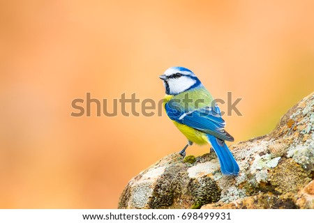 cute colorfulbird. Orange nature background. Eurasian Blue Tit / Cyanistes caeruleus