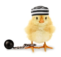 Cute cool chick prisoner jailbird with striped cap and fetter funny conceptual image