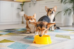 Cute corgi dog drinking water from bowl in kitchen at home