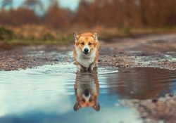 cute Corgi dog puppy stands in a puddle on the road in the autumn Park funny grimacing