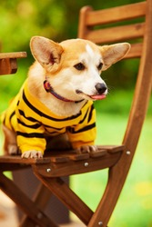 Cute corgi dog sitting on the wooden chair. Yellow and black striped hoody on the dog. Blurred green background. Summertime. Pet care concept. Space for a text.