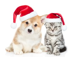 Cute corgi puppy and gray tabby kitten wearing red christmas hats sit together. isolated on white background