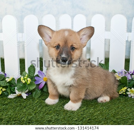 Cute Corgi puppy sitting in front of a white picket fence with flowers.