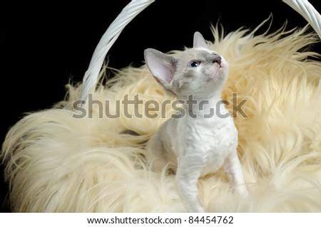 Cute Cornish Rex Kitten in Basket