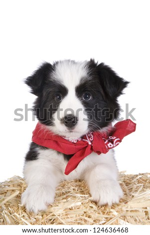 Cute country Border collie puppy wearing red bandana on straw bale isolated on white background