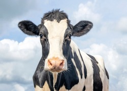 Cute cow, black and white friendly innocent look, pink nose, in front of  a blue sky.