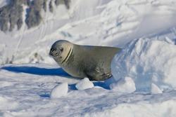 Cute crabeater seal on snow, closeup in ice landscape, Antarctica