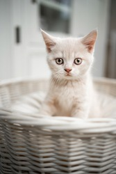 cute cream colored british shorthait kitten sitting on pet bed looking at camera