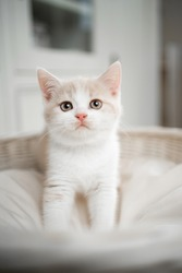 cute cream colored british shorthait kitten standing on pet bed looking at camera