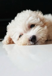 Cute Cream Toy Poodle