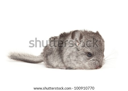 Cute curious baby chinchilla gray on a white background