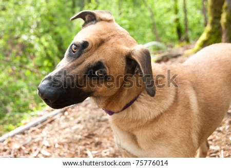 Cute Curious Shepherd Retriever Mix Dog