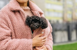 Cute curly puppy breed toy poodle sits under a pink coat in a girl and warms up. Owner warms the dog with its warmth. Funny photo of toy poodle in girl on hands.