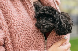 Cute curly puppy toy poodle sits under a pink coat in the female owner and looks into the camera. Girl walking with doggy outdoors on a cool day. Close up photo.