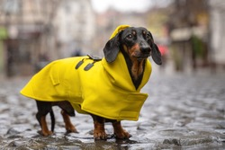 cute dachshund dog, black and tan, dressed in a yellow rain coat stands in a puddle on a city street