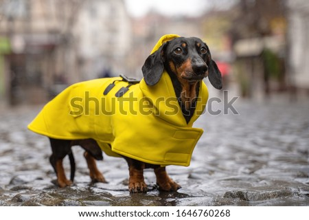cute dachshund dog, black and tan, dressed in a yellow rain coat stands in a puddle on a city street Photo stock ©