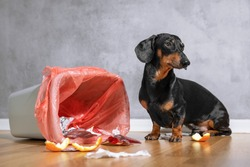 Cute dachshund dog, black and tan, looking up with a guilty expression while sitting next to a tipped over garbage can
