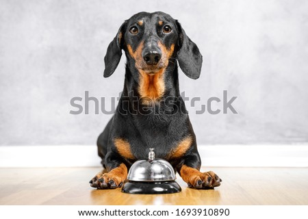 Cute dachshund laying on the floor with a bell between paws for calling of a servant. Light background, copy space, funny dog face expression. Stock photo ©