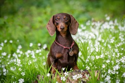 Cute dachshund portraits on green natural background