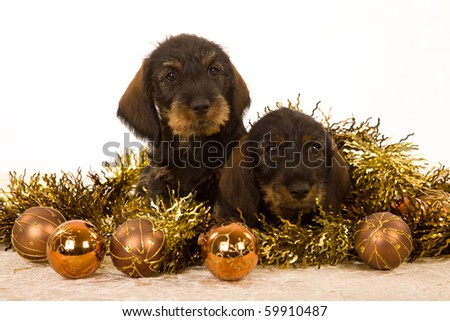 Cute Dachshund puppies with Christmas baubles on white background