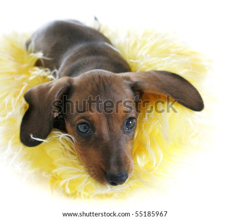 Cute Dachshund Puppy Snuggling Yellow Hat