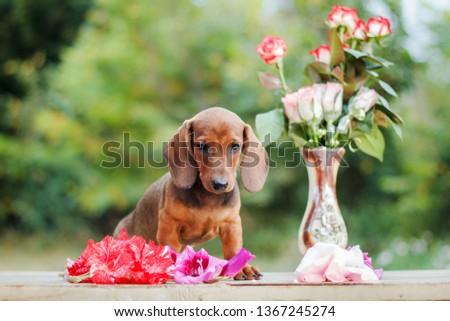 Cute dachshunds puppies #1367245274