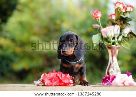 Cute dachshunds puppies #1367245280