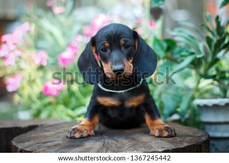 Cute dachshunds puppies #1367245442