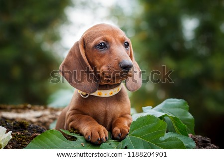 cute dachshunds puppy with nature background #1188204901