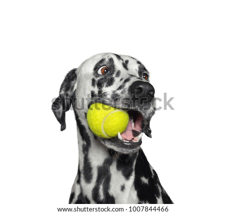 Cute dalmatian dog holding a yellow ball in the mouth. Isolated on white background