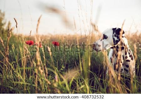 Cute Dalmatian Dog In A Cornfield
